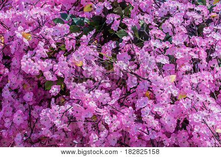 Closeup of large bush covered with beautiful pink cherry blossom flowers.