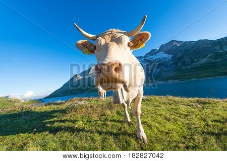 Cow in high alpine pasture on Swiss alps in summer