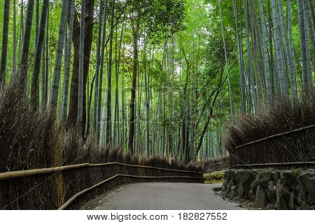 Green bamboo forest at Arashiyama touristy district, Kyoto prefecture in Japan