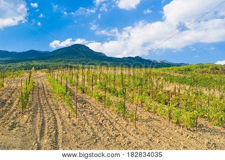 Young vineyard in Crimean mountains near Gurzuf resort.
