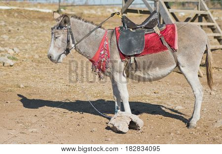 Cute dozing donkey in waiting for tourists.
