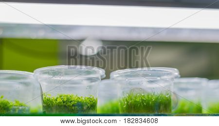 image of Aquatic Plant tissue culture in the laboratory(New large pearl grass)