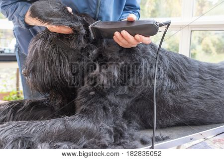 Initiation of grooming of the Giant Black Schnauzer dog. All potential trademarks are removed.