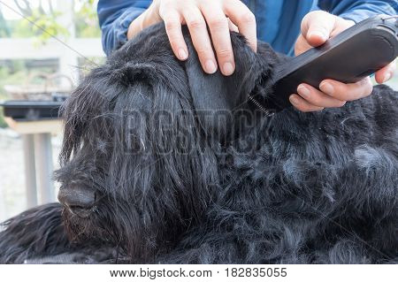Closeup view of grooming ears of the Giant Black Schnauzer dog. The dog is lying on the table. All potential trademarks are removed.