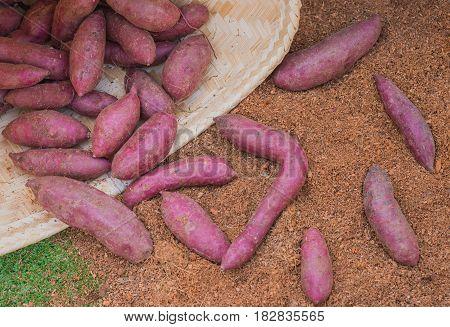 Purple Sweet Potato Day Time.