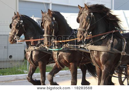 Carriage towed by three black frisian horses poster