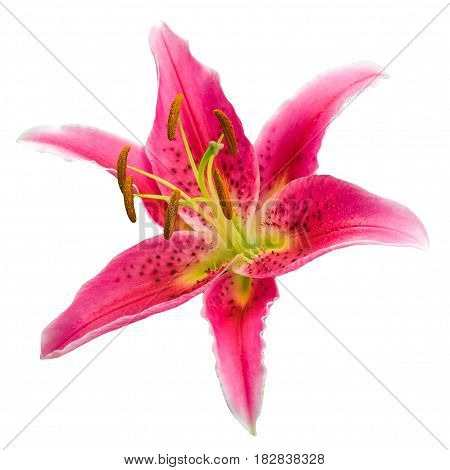 Macro picture of romantic pink lily isolated on white