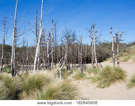 Dead pine trees at newborough in Anglesey North Wales