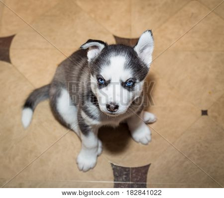 Cute puppy Siberian husky with blue eyes. View from above.
