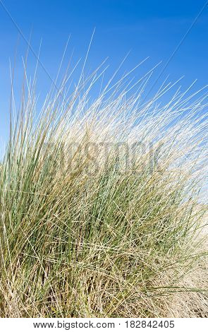 Marram grass on coastal sand dunes with blue sky