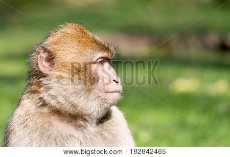 Portrait of a Barbary Macaque looking sideways
