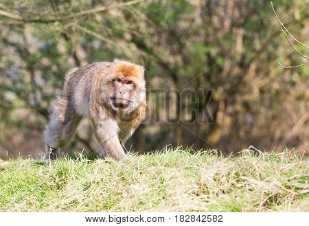 Portrait of a Barbary Macaque walking along a grass bank