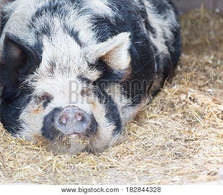 Kune Kune pig sleeping on a straw floor
