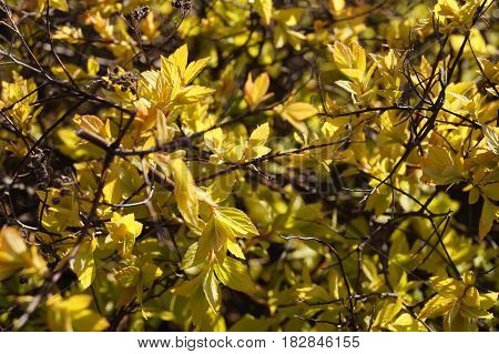 plant Background the plant is a shrub young leaves in the spring