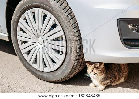 Cat Sits Dangerously Under The Wheel Of Car. Because Of Heat In City Of Many Cats Hiding Under A Car In Shade And Expose Themselves To Risk Of Being Crushed.