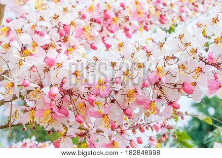 Cassia bakeriana Craib Beneath pink flowering tree similar sakura in Thailand