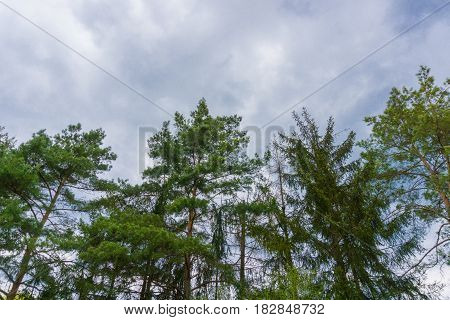 Close-up of Spruce Tree in front of a cloudy sky. Big green Trees. Treetops. Cloudy Day.