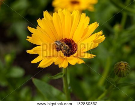 Bright Orange Flower Marigold Calendula Officinalis Close up