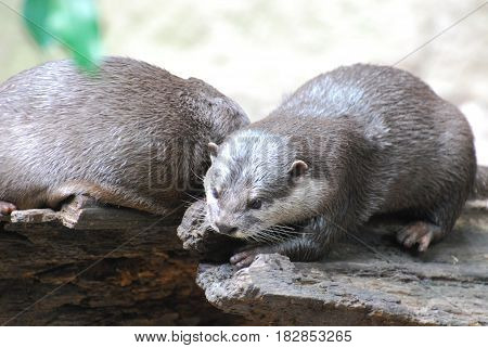 Cute pair of river otters sitting on rotting logs.