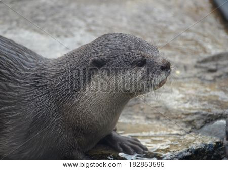 Beautiful river otter sitting in shallow water.