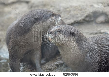 Cute pair of playful river otters rolling around.