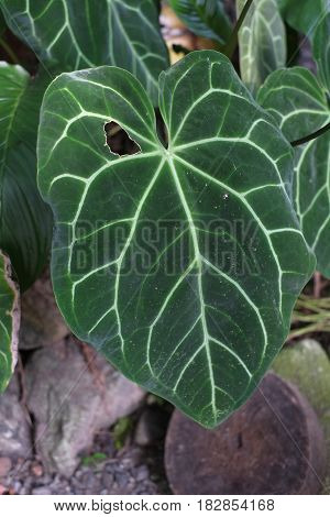 Queen of the Leafy Plants Colocasia esculenta in Asia