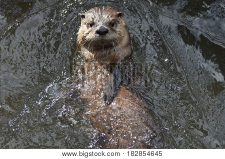 Really cute amazing river otter floating on his back in a river.