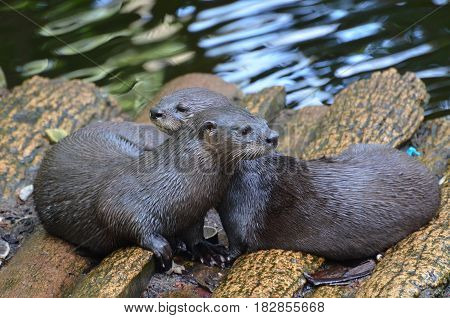 Adorable pair of cuddling river otters sitting together on a log bridge.