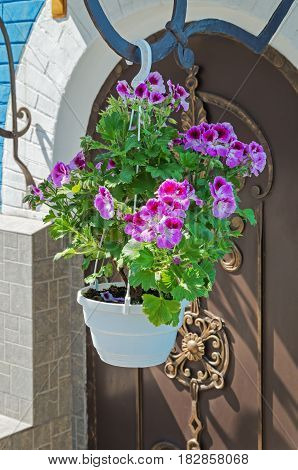 Garden flower of the Petunia in a flowerpot for flowers near the entrance doors forged