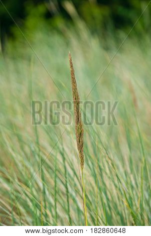 Dune grass spikes in front of blurred background at Germany's coast