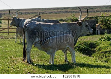Maremmana cow on pasture with calf sucking on udder, southern Tuscany, Italy