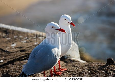 Pair of Australian sea gulls posing un-perturbed