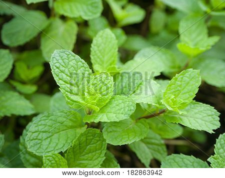 Green leaves of peppermint close up shot.