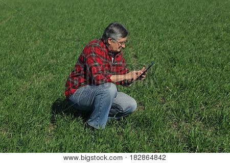 Agriculture, Farmer Examine Wheat Plant In Field