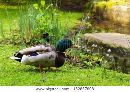Close-up of a male Duck. Mallard Ducks. A Duck (Anatidae) on a green Meadow. Seated Duck. Ducks at the lake. Animals in the wild