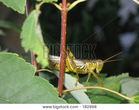 Grasshopper Peeking
