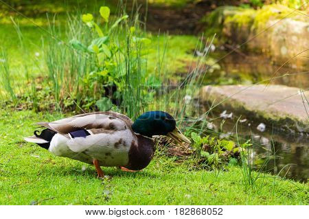 Close-up of a male Duck. Mallard Ducks. A Duck (Anatidae) on a green Meadow. Seated Duck Animals in the Wild.