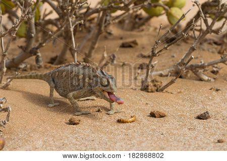 Close up of a desert chameleon Namibia Africa