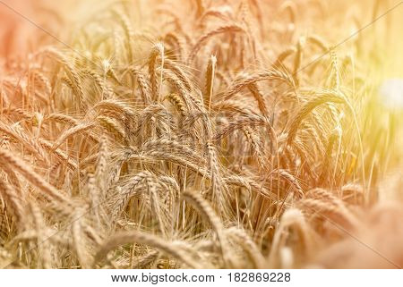Late afternoon in wheat field (sunset), beautiful crop field