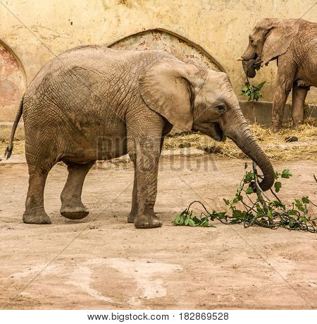 African animals elephants feeding Lisbon zoo garden