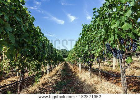 vineyard grape ranks in Bosnia and Herzegovina