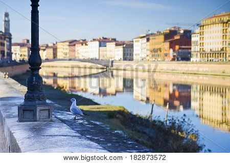 "Seagull on banks of river Arno Pisa (Tuscany - Italy) - In the background you can see the most important bridge called ""Ponte di Mezzo"" completely built in marble. poster"