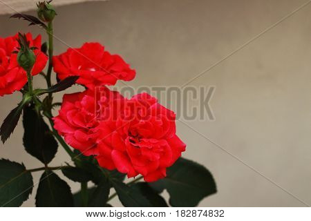 Red roses have beautiful petals in the backyard