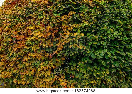 Large Round Boxwood Bush In A Park