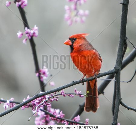Male Northern Cardinal perched on a tree branch.
