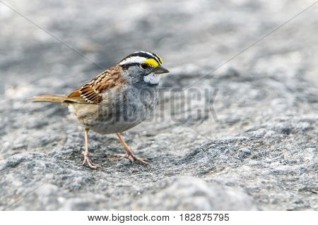 A White-throated Sparrow on a rocky ground.