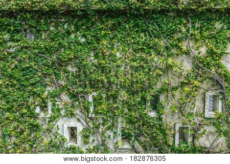 daylight decorated old wall with green fresh leaves Carmona retusa background