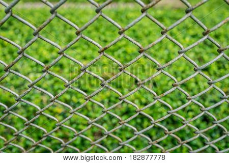 close up old fence with green fresh leaves Carmona retusa in the background