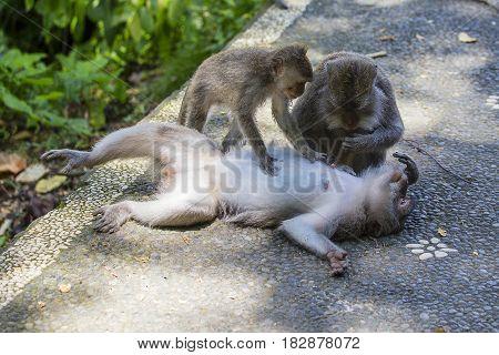 Monkey family at sacred monkey forest Ubud Bali Indonesia. Close up