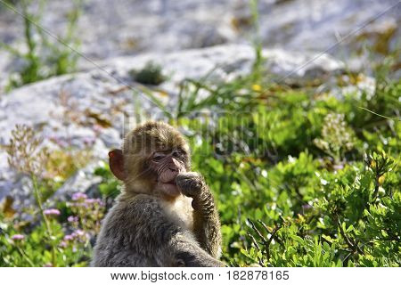 Portrait of a infant Barbary Ape in Gibraltar
